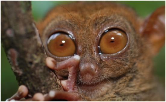 Tarsius é um gênero de primatas popularmente conhecidos como társios, pertecentes à família Tarsiidae, a única com representantes atuais dentro da infraordem Tarsiiformes. Fósseis de társio e de outros tarsiiformes foram encontrados na Ásia, Europa e América do Norte e, possivelmente, na África. Porém, os társios sobreviventes estão restritos a algumas ilhas do sudeste asiático, incluindo Filipinas, Sulawesi, Bornéu e Sumatra. Eles também possuem o maior registro fóssil contínuo que qualquer outro primata[2] . O registro fóssil indica que sua dentição pouco mudou, exceto em tamanho, passados 45 milhões de anos.