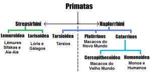 Classificação biológica atual dos grupos de primatas.