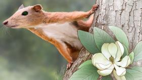 """Purgatorius é o gênero de três espécies extintas que acredita-se ser o mais antigo exemplar de primata ou um """"proto-primata"""", """"primatomorfo"""" precursor dos Plesiadapiformes. Remanescentes apenas descritos por pequenos fragmentos de crânios e dentes foram descobertos no que hoje é Montana em depósitos que se acredita terem aproximadamente 65 milhões de anos de idade. Foto IbTimes. Clique para ampliar"""