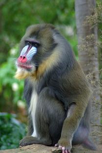 Cercopithecidae é uma família de primatas dentro da superfamília Cercopithecoidea, no clado Catarrhini. Também são chamados de Macacos do Velho Mundo. São nativos da África e Ásia. Na imagem um Mandrillus sphinx. Entra nesta familia os macacos narigudos, colobines, macaco de gibraltar, macaco rhesus e tantos outros.