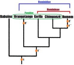 Pondigae e Hominidae - Nodopedalia e bipedismo.
