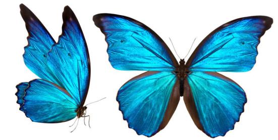 Uma equipe de físicos que visualizou a nanoestrutura interna de uma asa de borboleta intacta descobriu dois atributos físicos que fazem essas estruturas tão brilhante e colorido. Crédito: © boule1301 / Fotolia