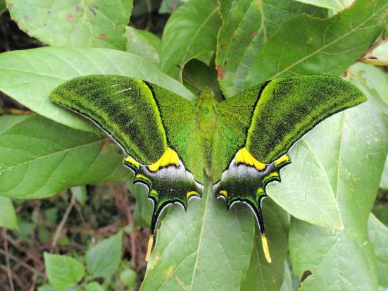 Teinopalpus imperialis (Papilionidae)