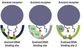 Um antigo receptor de esteróides reconstruído se liga a um site de DNA associado com a sinalização do estrogénio (à esquerda), mas não para outros dois (média e direita) reconhecidos por receptores de esteróides que evoluíram mais tarde. O receptor não pode ligar-se aos outros devido a incompatibilidades físicas com partes do DNA.