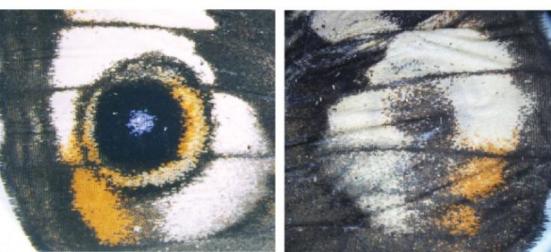 Ao ajustar apenas um ou dois genes, pesquisadores da Universidade de Cornell ter alterado os padrões de asas de uma borboleta. Esta imagem mostra os padrões normais e de engenharia asa como imagens de espelho. Crédito: Universidade de Cornell
