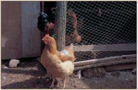 os dentes da galinha: tão raro quanto se pensava? © 2013 Nature Publishing Group Bajaj, dentes A. de galinha. Britânico Dental Journal 200, 187 (2006). Todos os direitos reservados.