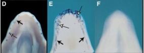 Figura 1: Shh, um marcador precoce do desenvolvimento dos dentes, é expressão aberrante em mutantes TA2. Shh é expressa no desenvolvimento de mandíbula de crocodilo aos embriões (painel esquerdo). os dentes em desenvolvimento são designados pelas setas. Shh também pode ser visto na área correspondente em embriões de galinha TA2 mutante (painel do meio). Não há expressão de Shh em embriões de galinha visível tipo selvagem (painel da direita). © 2006 Elsevier Harris, M. P. et al. O desenvolvimento de dentes arcossauros de primeira geração em um mutante de frango. Current Biology 16, 371-377 (2006). Todos os direitos reservados.