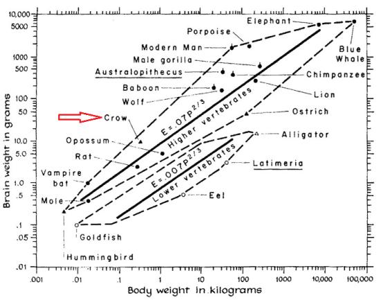 Observe a massa do cérebro em função da massa corpórea. Em corvos a massa cerebral esta acima do esperado.