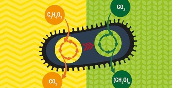 Weizmann Institute bactérias cientistas engenheiro para criar açúcar do dióxido de carbono. Crédito: Weizmann Institute of Science.