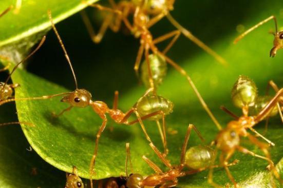 Foto: As formigas do tecelão (smaragdina de Oecophylla) são conhecidos por seu comportamento cooperativo usado na construção do ninho. (Ajay Narendra)