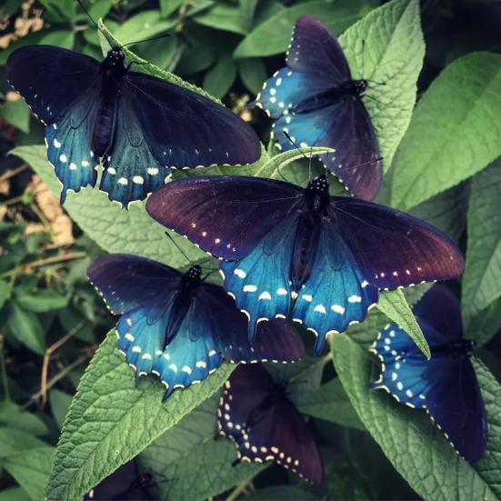 """""""Para a maioria das pessoas, é a borboleta sonho de trabalhar com na região. É lindo. Se a maioria das pessoas viu em SF, eles não acho que é uma borboleta nativa."""" -Tim WongTim Wong (Instagram: timtasti1c)"""