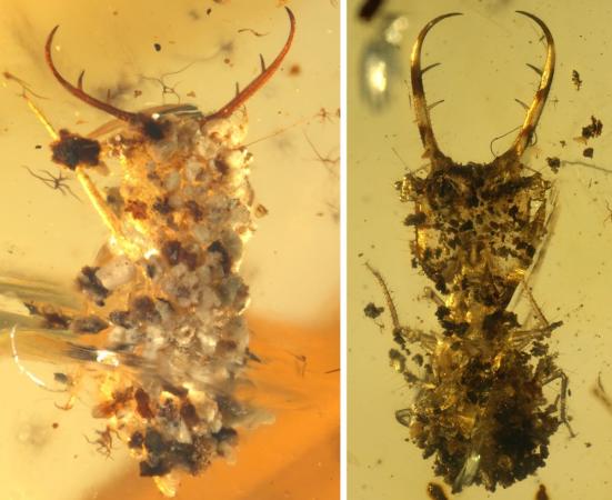 Um olhar mais atento sobre dois fósseis antlion em âmbar. Pedaços de areia, cascalho e outros detritos cobrir as costas dos insetos. Crédito: Wang et al. Sci. Adv. 2016; 2: e1501918