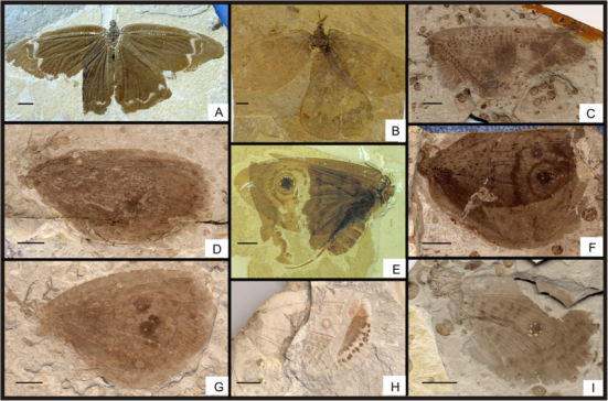 "Por Qiang Yang, Yongjie Wang, Conrad C. Labandeira, Chungkun Shih e Dong Ren - Yang q., Wang y., Labandeira c. c., Shih c., ren d. (2014). "" Mesozoic lacewings from China provide phylogenetic insight into evolution of the Kalligrammatidae (Neuroptera)"". BMC evolutionary biology 14 (1): 126. doi:. 10,1186 / 1471-2148-14-126, cc by 2.0,"