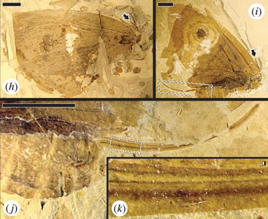 Kalligramma brachyrhyncha mostrando inseto inteiro com seta apontando para probóscide (h) Oregramma illecebrosa mostrando tromba (seta) e ovipositor (box). Close no aparelho ovipositor (j) e (k). fig. 1h, i, j, e k labandeira et al. de 2016.