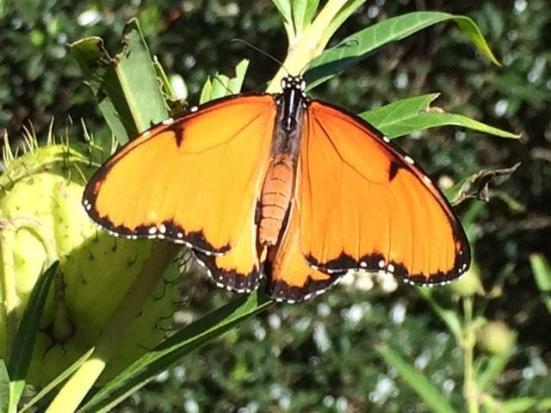 micróbio minúsculo vira borboleta tropical em assassino masculina. Crédito: Universidade de Exeter