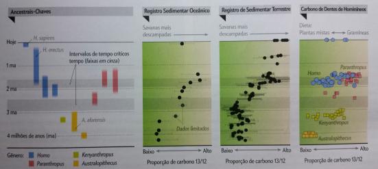 O carbono dos dentes de H. erectus indica o consumo de uma dieta mista entre C3 e C4 e uma capacidade de encontrar alimentos mesmo em uma Savana em crescente expansão. Paranthropus (e o Kenyanthropus) indicam uma restrição alimentar a oferecida exclusivamente nas Savanas.