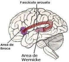 Circuito cerebral da expressão e da compreensão.