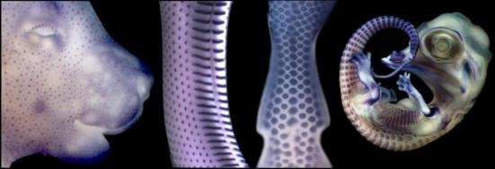 Placodes (manchas coradas em azul escuro pela expressão de um gene inicial de desenvolvimento) são visíveis antes do desenvolvimento de cabelo, escamas e penas na (da esquerda para a direita), o rato, a serpente, o frango eo crocodilo. Crédito: copyright UNIGE 2016 (Tzika, Di-POI, Milinkovitch)