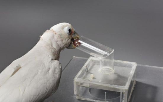 Pássaro emprega aparelho de bola. Crédito: Direitos de autor Bene Croy