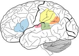 O córtex auditivo primário é destaque em rosa e interage com as outras áreas destacadas acima