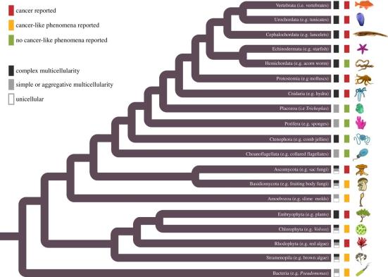 Eumetazoa – Relações filogenéticas entre os organismos inferida a partir de árvores anteriormente publicadas (veja Athena et al, 2015). Este valor inclui todas as linhagens contendo formas multicelulares, mas não denota os estados ancestrais ou todas as possíveis e origens independentes. As caixas pretas, cinzas ou brancas na ponta do ramo indicam a celularidade como unicelular (branco), multicelularidade simples ou agregadora (cinza) ou multicelularidade complexa (preto) em espécies existentes. As caixas coloridas vermelhas, amarelas ou verdes representam se um fenótipo de câncer (invasão ou metástase). Onde houve relato na literatura de câncer esta representado pela cor vermelha, uma observação semelhante a câncer (como a proliferação ou diferenciação anormal) esta representada em amarela e onde não há registros de fenótipo de câncer como representado em verde.