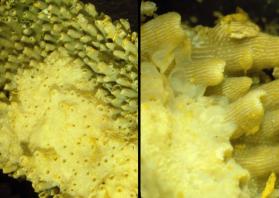 Câncer em corais - corais muitas vezes apresentam tumores chamados epiteliomas calicoblastico com perda de diferenciação e destruição da arquitetura do tecido, incluindo os mecanismos de alocação de recursos. O padrão de crescimento tubular normal no canto superior direito de ambos os painéis está sendo invadido pelo epitelioma calicoblastico relativamente brando. Estas amostras são dos Grecian Rocks, em Florida Keys (pelo Florida Keys National Marine Sanctuary). O coral aparece amarelo porque as amostras foram conservadas em fixador de Helly que incluiu o dicromato de potássio. Imagens de Esther Peters.