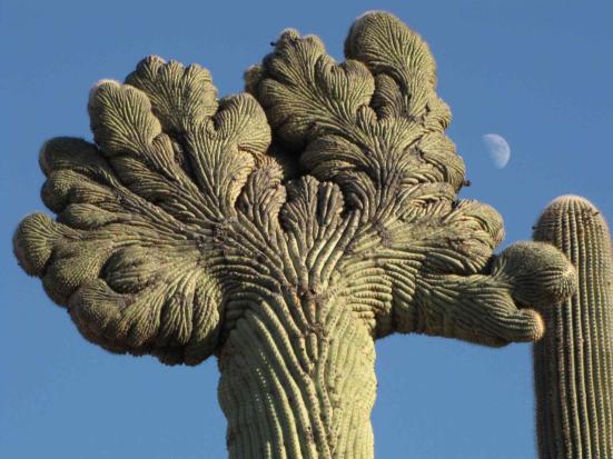 Fasciação em plantas. As plantas exibem padrões inadequados de crescimento conhecidos como fasciação que acredita-se ser devido mutações somáticas nas suas célula meristemáticas. Fasciações em cactos são conhecidas como cactos-com-crista e muitas vezes são botanicamente desejáveis (licença Creative Commons) (Athena et al, 2015).