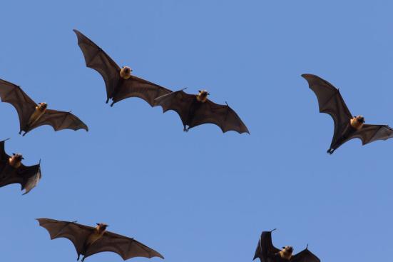 De acordo com Dr. Yovel, desbloquear o mistério de reconhecimento de eco bat podem oferecer informações valiosas sobre sistemas militares e civis de radar, que são vulneráveis à interferência eletrônica. Crédito: © stockphoto mania / Fotolia