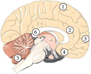 Áreas do sistema nervoso em que há a atuação da Cannabis : 1) Córtex Frontal, 2) Hipocampo, 3) Córtex pré-frontal, 4) Núcleo Accumbens, 5) Cerebelo e 6) Ganglios da Base