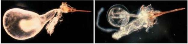 A esquerda: formiga-de-fogo (S. invicta) com ferrão incluindo um aguilhão, um ovipositor derivado, com grandes sacos de veneno anexos e a pequena glândula de Dufour, que são derivados de glândulas reprodutivas acessórias. A direita: o ferrão da formiga Pogonomyrmex badius harvester inclui um saco de veneno com filamentos livres anexados que coleta materiais da hemolinfa para a síntese de veneno, e a glândula de Dufour tubular.