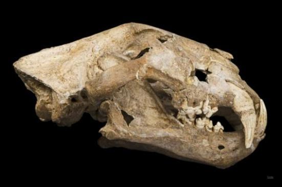 O crânio de um leão das cavernas. Crédito: Didier Descouens.