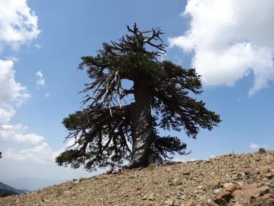 Adonis, um pinheiro da Bósnia, mais de 1.075 anos de idade, vivendo nas florestas das montanhas alpinas Pindo no norte da Grécia. Crédito: Dr. Oliver Konter, Mainz