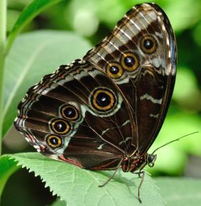 Borboletamorpho achilles da fam[lia Nymphalidae que vive na Amazônia apresenta 7 manchas ocelares (manchas concêntricas). Fonte: Joeschelling