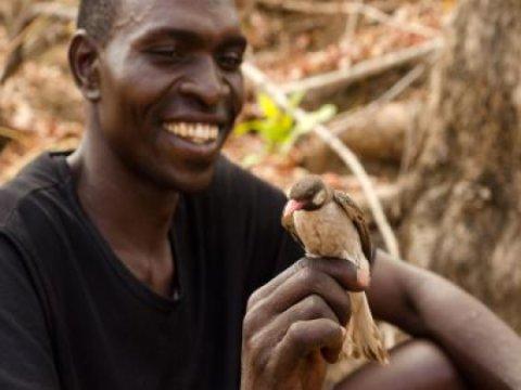 Yao mel caçador de Orlando Yassene detém uma maior Honeyguide masculino temporariamente capturado para a pesquisa na Reserva Nacional do Niassa, Moçambique. Crédito: Claire Spottiswoode