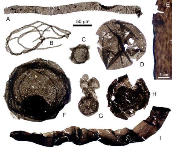 Figura 1: Procarióticas (A, B), microfósseis filogeneticamente indeterminados (C, G-I) a partir do início de Formação Mesoproterozóica Greyson, inferior Supergrupo Belt eucariótica (D-F) e. 50 mm barra de escala aplica-se a todas as amostras, exceto E. Clique na figura para uma versão maior. Crédito: Zach Adam e Nicholas Butterfield