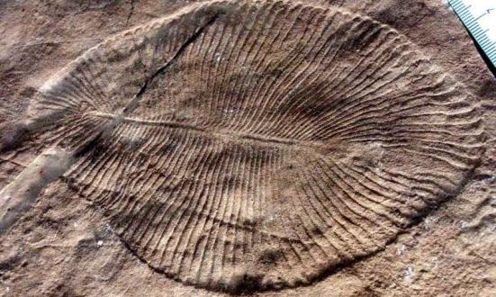 Um fóssil Dickinsonia Costa do período Ediacarano. Crédito: Wikipedia Commons.