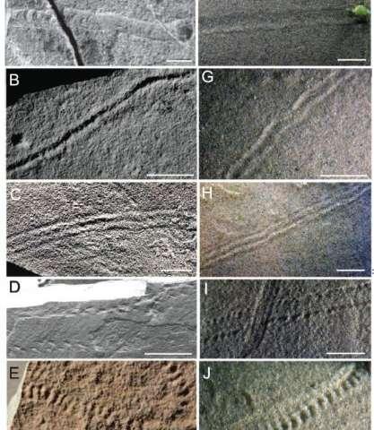 As imagens à esquerda mostram vestígios fósseis de Ediacara, e as imagens à direita mostram as trilhas produzidas no tanque de ondas com os agregados microbianos. A barra de escala branco é 1 centímetro. Crédito: SEPM / Journal of Sedimentar Research. Usado com permissão