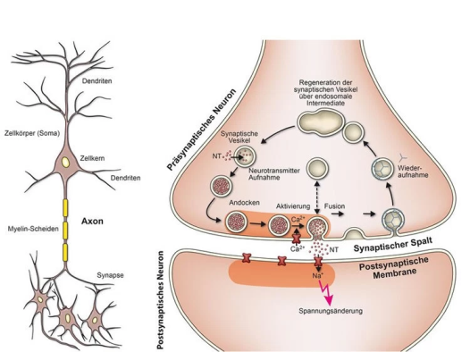 Ilustração de um neurônio (esquerda) e uma sinapse (direita). imagem NeuroscienceNews.com é creditada a MPI para Química Biofísica.
