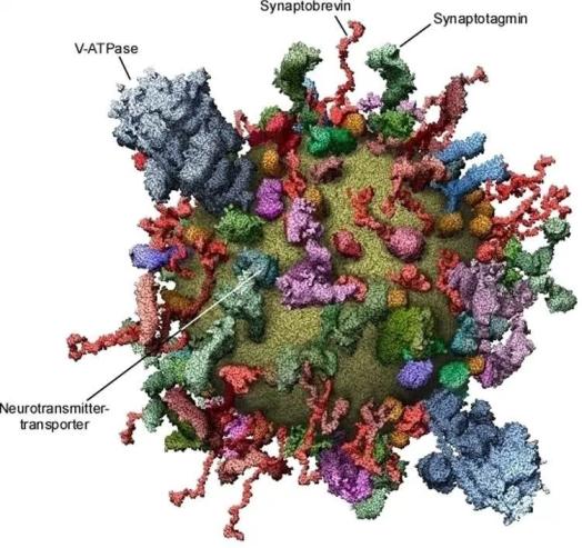 Modelo molecular de uma vesícula sináptica mostrando as principais proteínas. imagem NeuroscienceNews.com é creditada a MPI para Química Biofísica.