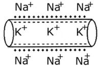 Meio externo com íons de Na+ e meio intra-celular com íons de K+