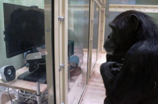 Um chimpanzé no Kumamoto Santuário se prepara para assistir cenários experimentais que irão testar sua compreensão da crença falsa, uma característica da teoria da mente. Crédito: KUMAMOTO santuário, Universidade de Kyoto, JAPÃO