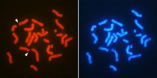 localização cromossómica do gene AMH relacionada com o sexo (setas) em T. osimensis masculino. Cromossomos são double-coradas com diferentes substâncias fluorescentes (vermelho e azul) para o mapeamento genético preciso. Crédito: Otake T. e A. Kuroiwa Molecular mecanismo de diferenciação do sexo masculino é conservada no SRY-ausente mamífero. osimensis tokudaia. 9 de setembro de 2016, relatórios científicos