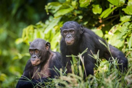 Bonobos (stock image). Creditos: © Uryadnikov Sergey / Fotolia