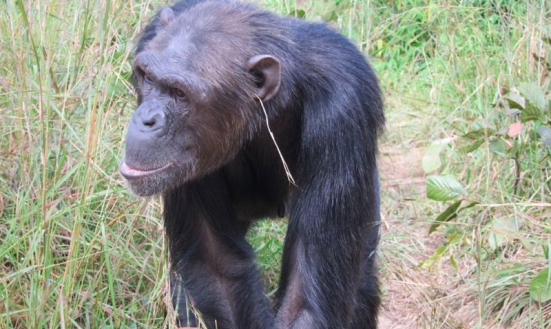(Edwin J. C. van Leeuwen et al / Animal Cognition) Read more: http://www.smithsonianmag.com/smart-news/animal-fashion-some-chimps-are-putting-grass-ears-and-nobody-knows-why-180951888/#Jm1jri55ACfehiY5.99 Give the gift of Smithsonian magazine for only $12! http://bit.ly/1cGUiGv Follow us: @SmithsonianMag on Twitter