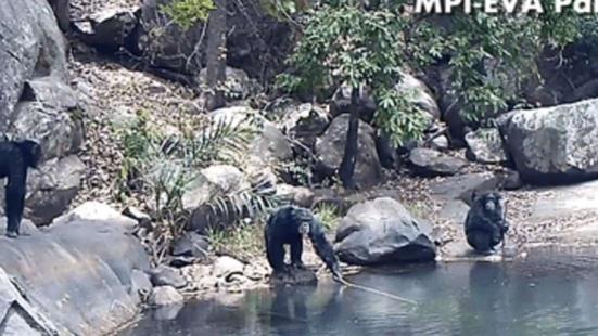 Chimpanzés usando varas para pescar alga. mpi-eva, panaf