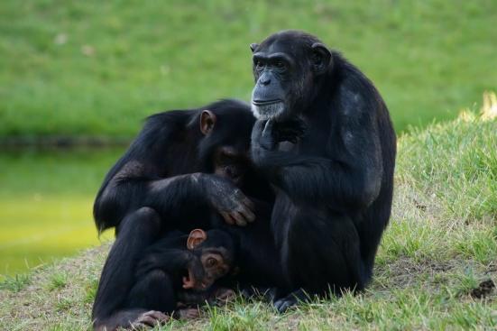 Nova pesquisa sugere que os chimpanzés masculinos são mais investidos em proteger seus próprios filhos do que se pensava anteriormente. Crédito: © estima / Fotolia