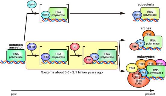 Sistemas de transcrição antigos e atuais - Sistemas de transcrição de organismos antigos de quase 3 bilhões de anos atrás eram diferentes dos existentes arqueas e eucariotas. © 2016 Laboratório de Biologia do Desenvolvimento, Instituto de Biociências Moleculares e Celulares, Universidade de Tóquio.