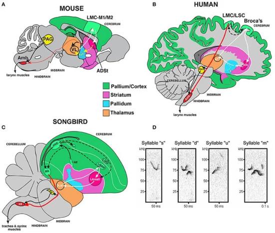 Anatomia do sistema de música do mouse e tipos de sílaba. (A) Anatomia proposta do circuito de comunicação vocal do prosencéfalo rudimentar do rato baseado em Arriaga et al. (2012). Não são mostradas outras regiões do tronco cerebral conectadas, a amígdala e a ínsula. (B) Comparação com humanos, com base em Arriaga et al. (2012) e Pfenning et al. (2014). (C) Comparação com songbird. (D) Sonogramas de exemplos de sílabas das quatro categorias de sílabas quantificadas a partir de uma canção US57 de rato macho C57, rotulada de acordo com os saltos de passo. Abreviaturas anatômicas: ADSt, striatum dorsal anterior; Amb, no núcleo ambíguo; ASt, estriado anterior; AT, tálamo anterior; Av, avalanche de núcleo; HVC, um nome baseado em carta; LArea X, área lateral X; LMO, núcleo oval mesopalium lateral; LMAN, núcleo magnocelular lateral do nidopalium; LMC, córtex motor laríngeo; LSC, córtex somatosensorial laríngeo; M1, córtex motor primário; M2, córtex motor secundário; NIf, núcleo interfacial do nidopálio; PAG, cinza periaquedutal; RA, núcleo robusto do arcopalium; T, tálamo; VL, núcleo lateral ventral do tálamo; XIIts, 12º núcleo motor vocal, parte traqueosiríngea. A imagem de NeuroscienceNews.com é creditada aos pesquisadores / Frontiers in Behavioral Neuroscience.