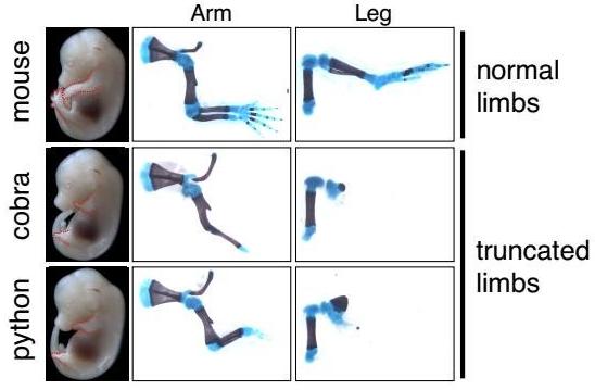 Esta imagem descreve embriões do rato com o ZRS da cobra ou do python introduzido em seus genomes, substituindo o regulador genético normal. Seu desenvolvimento de membros truncados é visível nos exames ósseos comparativos. Crédito: Kvon et al./Cell 2016