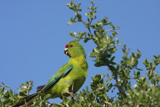 Papagaio de Chatham (© Bill e Jack Moorhead)